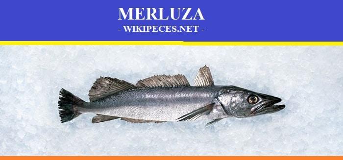 La merluza - pescado blanco - wikipeces.net