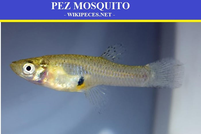 Pez mosquito o Gambusia affinis - wikipeces.net