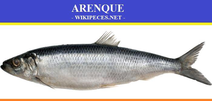 Pescado de carne azul- El arenque - wikipeces.net