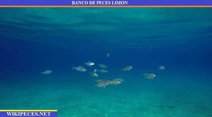 banco de seriolas, peces limón -wikipeces.net