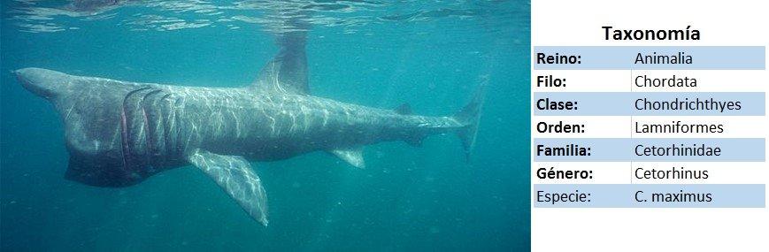 tiburon peregrino taxonomia - wikipeces.net