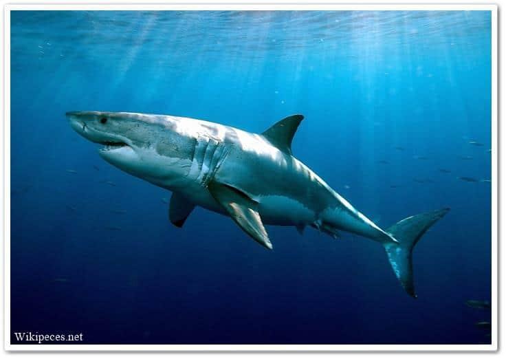 El tiburón tiene escamas - wikipeces.net