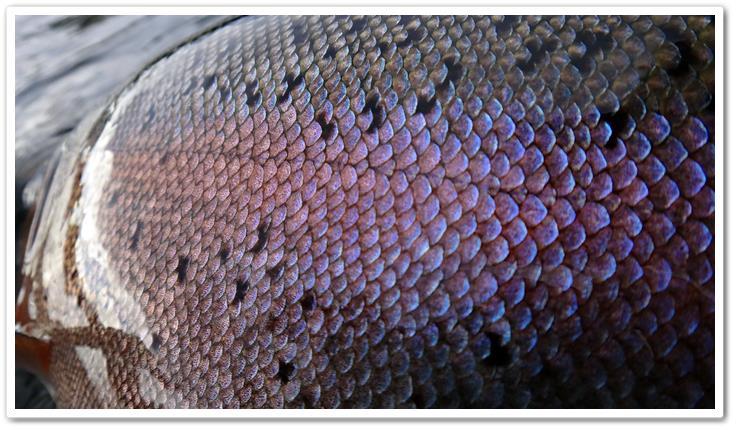 escamas de peces - wikipeces.net