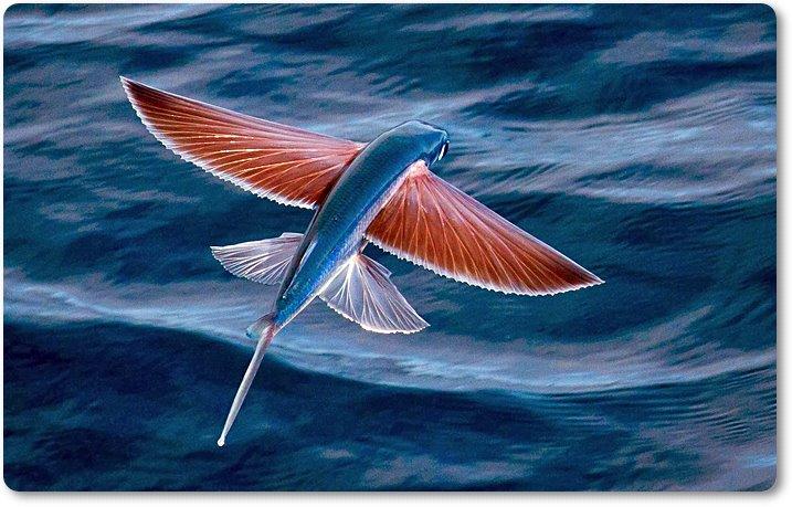 Pez volador con las aletas extendidas como si de un pájaro se tratara