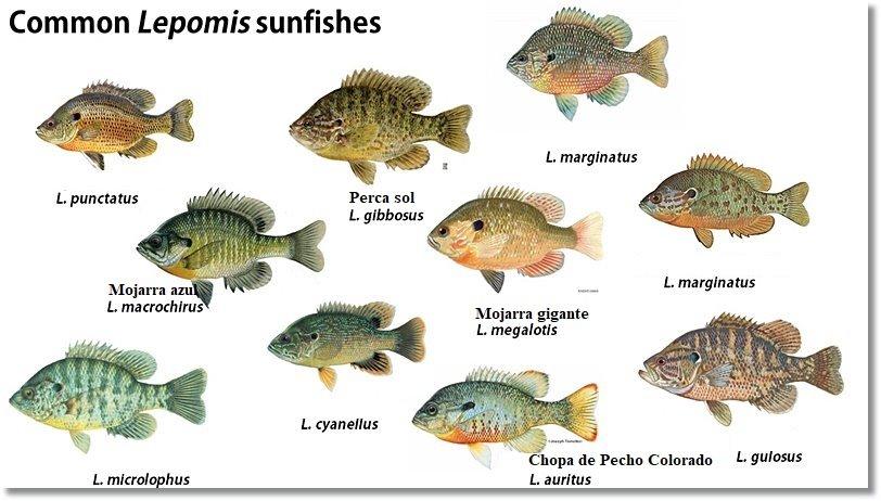 Otras especies del género Lepomis