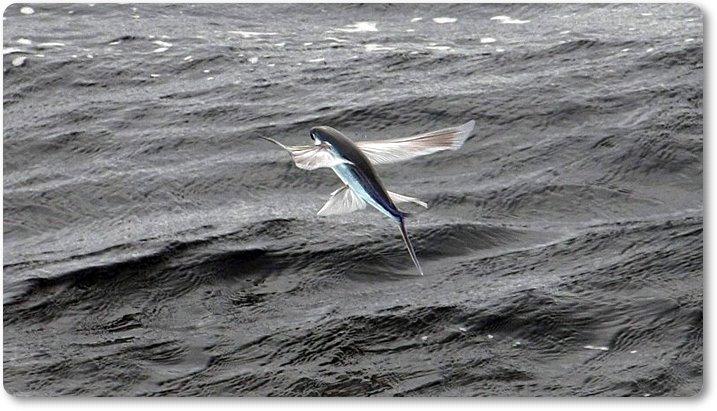 Vuelo de los peces voladores
