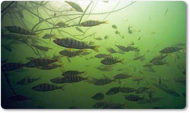 Cardumen de percas jóvenes próximas de hierbas subacuáticas