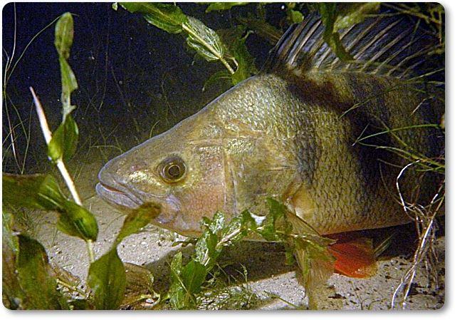 Perca entre hierbas subacuáticas - wikipeces.net