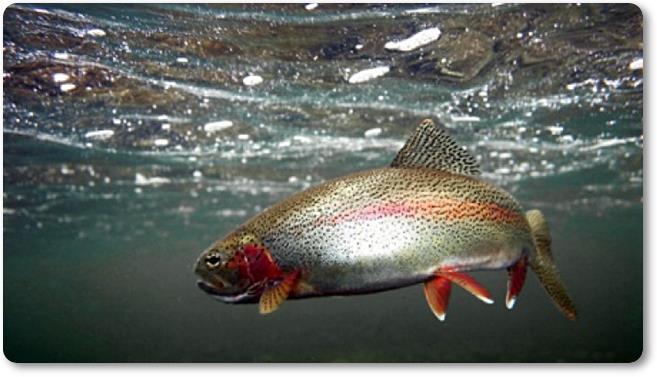 Trucha arco iris como especie invasora