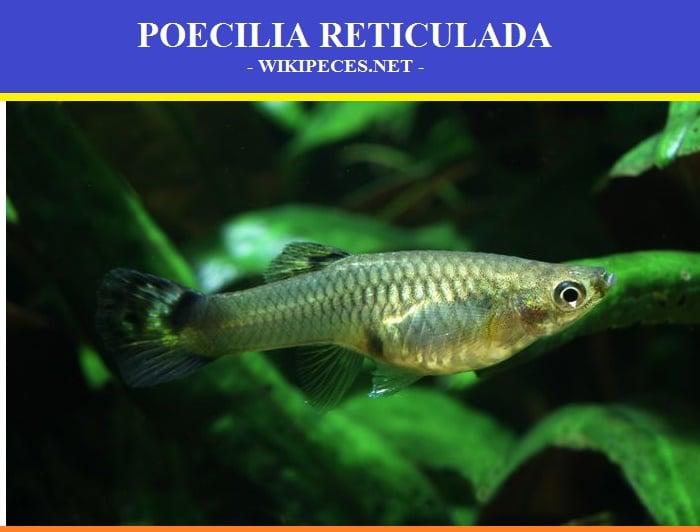 Poecilia reticulata, Pez guppy, lebistes o pez millón. - wikipeces.net