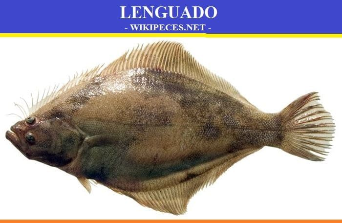 lenguado - pescado blanco - wikipeces.net