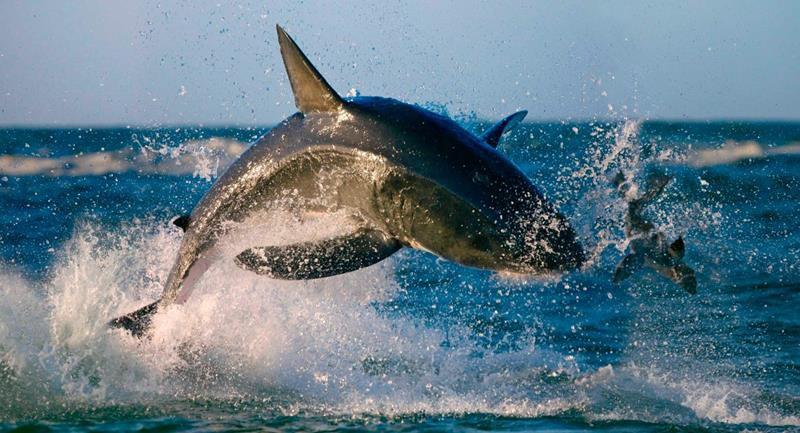 Tiburón blanco saltando a por una foca