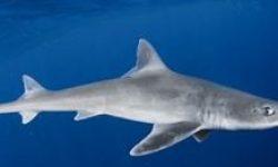 Tiburón Musola Lisa.