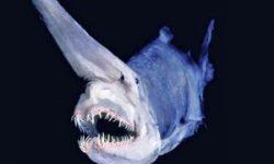Tiburón Nariz de Espada.