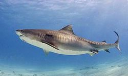 Tiburón Tigre.