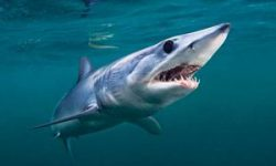 Tiburón mako.