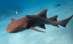 Tiburón Nodriza.