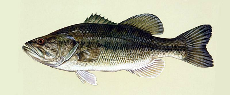 Black bass, perca americana - wikipeces.net