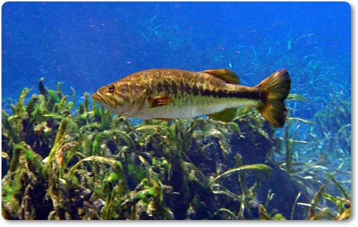 Boquiancho nadando entre hierbas subacuáticas
