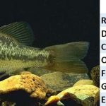 Black bass o perca americana, el predador de agua dulce