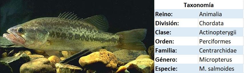Taxonomia del black bass
