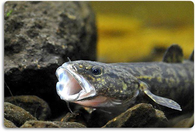 Lota con la boca abier. Fte. www.hlasek.com