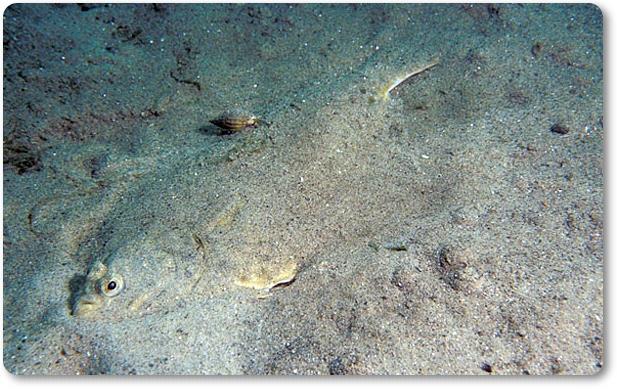 Platija escondida bajo la arena