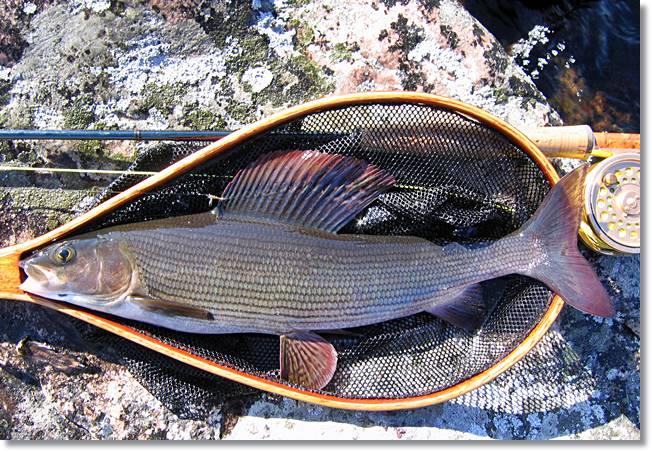 El tímalo es uno de los salmónidos más apreciados en Europa. Por desgracia día a día es más escaso, en tanto que precisa aguas puras y muy oxigenadas wikipeces.net