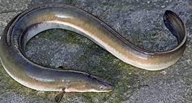la anguila es un pez - wikipeces.net