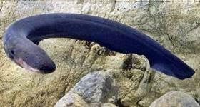 anguila electrica como produce electricidad
