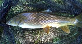 Barbo pez de agua dulce - wikipeces.net